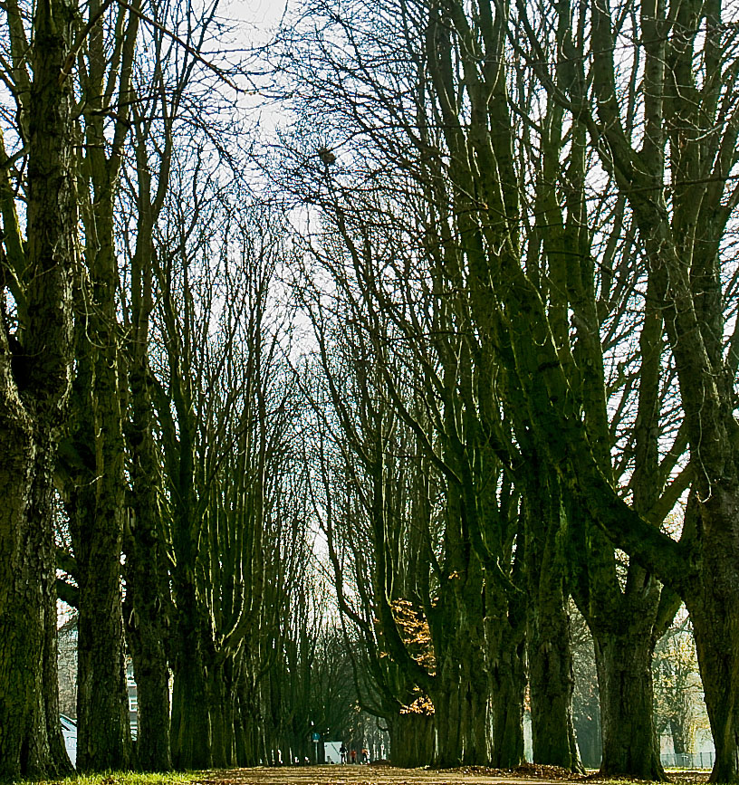 Rheinpark tree alley