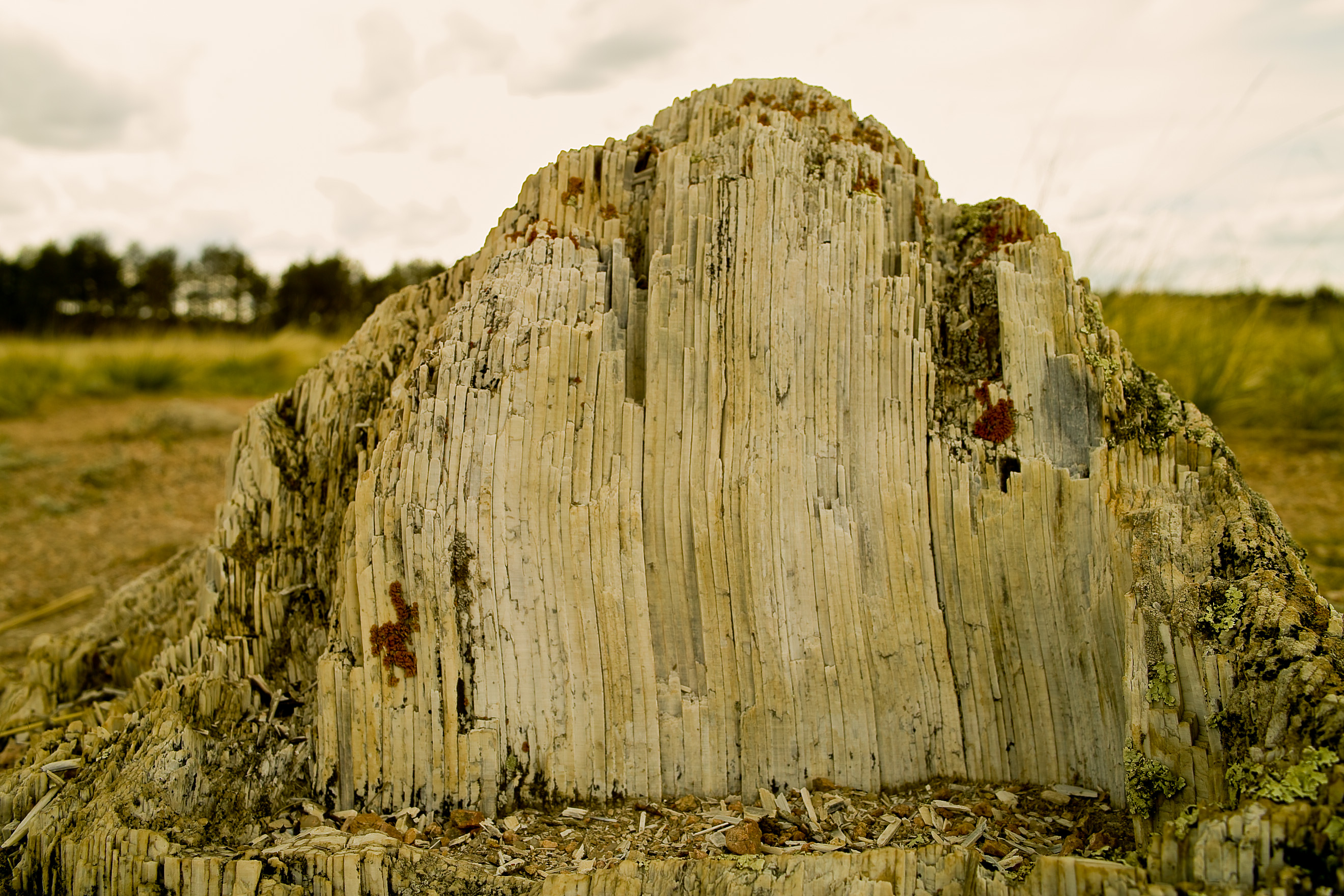 Giant petrified wood stump at Florissant
