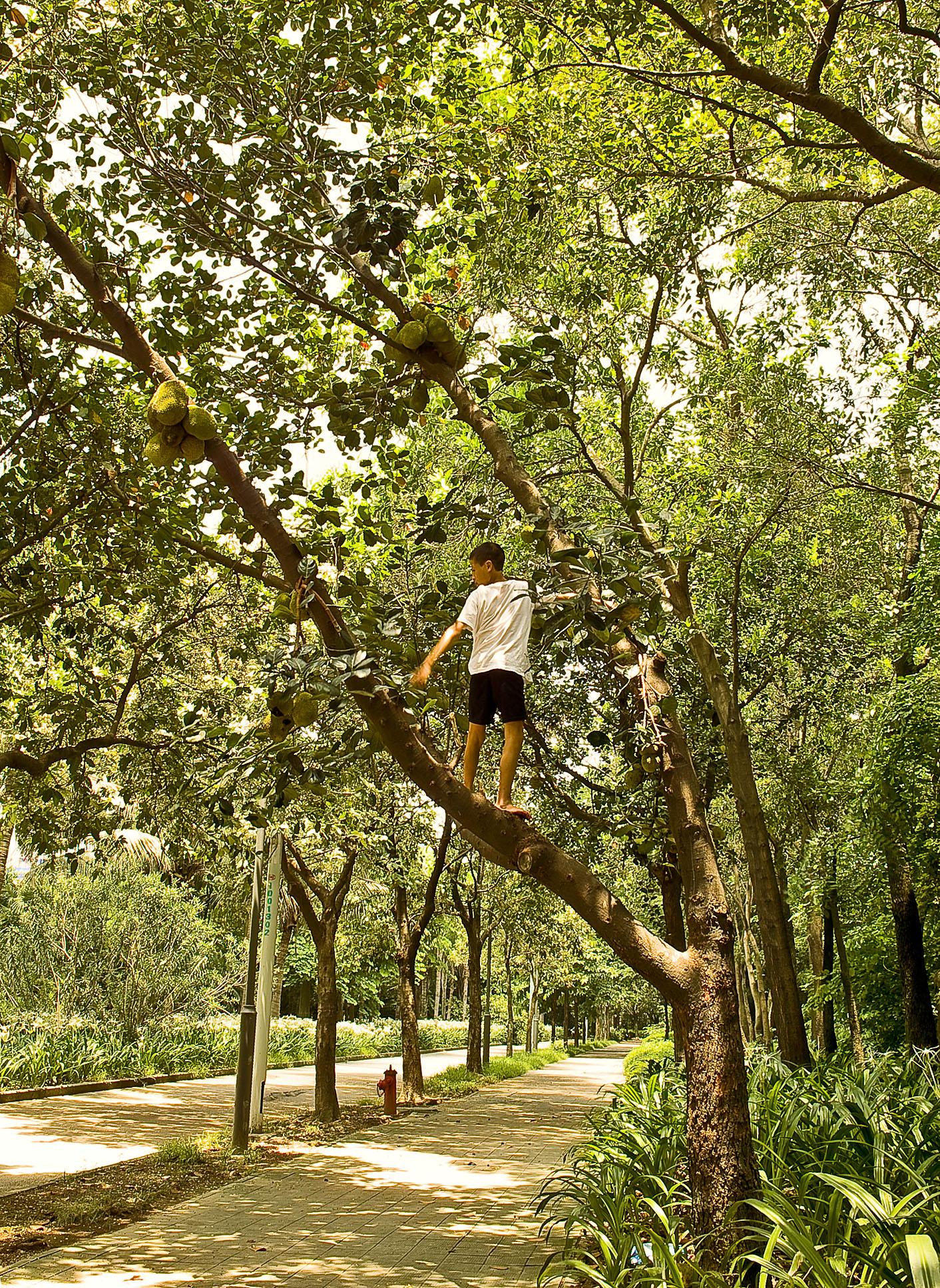 Boy doing some freelance Jackfruit harvesting in the park.