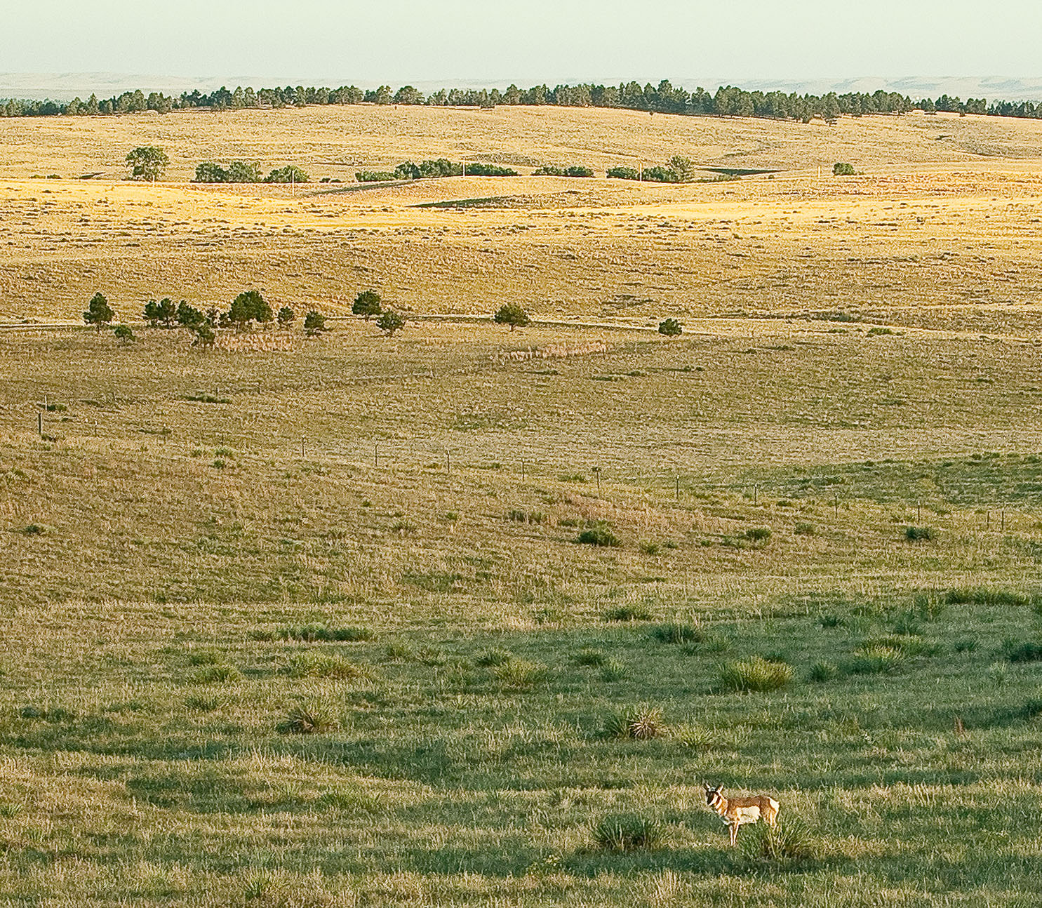 pronghorn this evening