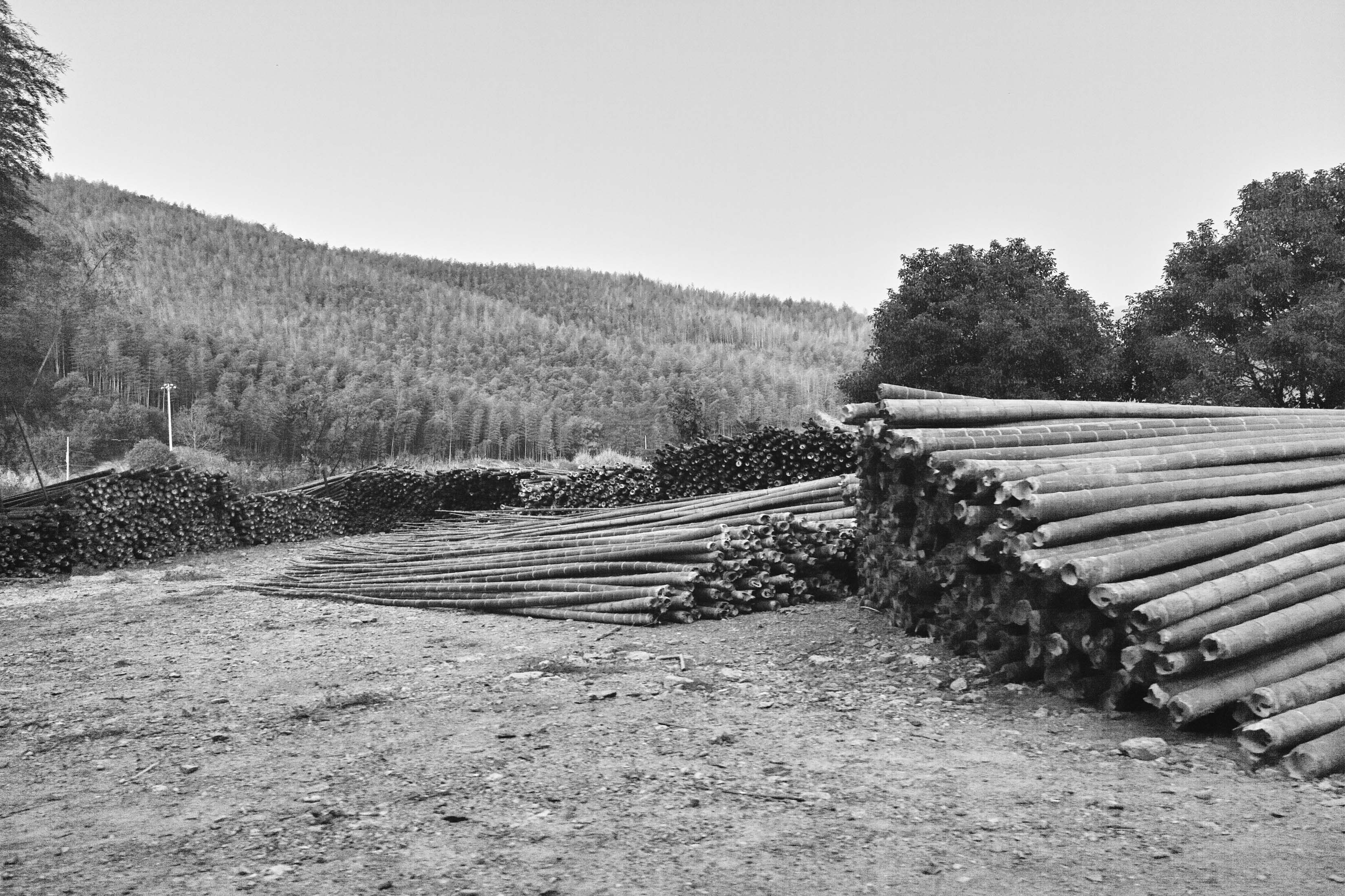 bamboo harvesting along road between Chibi and Chongyang